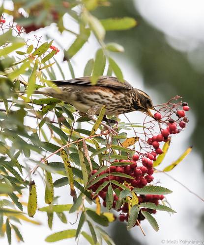 Punakylkirastas (Turdus iliacus), Redwing