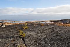 Les pins ont une vie dure (sosivov) Tags: sweden landscape sea bothniansea coast autumn