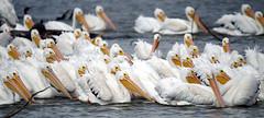 DSC03055 (Dodge Rock) Tags: americanwhitepelican pelican whiterocklake