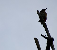 Great Spotted Woodpecker over by Wigan Flashes (stevencarruthers93) Tags: greenheart