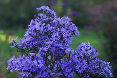 Dorpstuin Rozenburg (Crooski) Tags: rozenburg ricohimagingcompany pentaxk3 bloemen flowers kleuren dorpstuin najaar paars roze blauw geel yello purple
