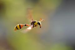 DSC_5121c (baloxp1) Tags: motion macro macrofreezing mood smallworld komposition animal awesome nature insect wasp photography potterwasp