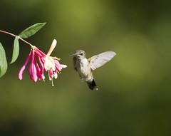 Hummingbird with honeysuckle 4 (Connie Etter Photography) Tags: flight indiana flower eat honeysuckle canon 100400mm rubythroat rubyredthroat