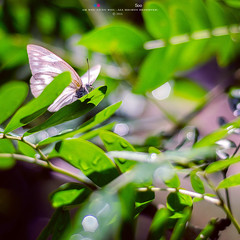 (Ah Wei (Lung Wei)) Tags: ahweilungwei butterfly georgetownpenang georgetown penangisland penang malaysia penangbutterflyfarm entopiabypenangbutterflyfarm nikon