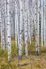 Bare Aspen (Kirk Lougheed) Tags: alberta canada canadian canadianrockies canadien jasper jaspernationalpark patricialake aspen autumn fall forest landscape nationalpark outdoor tree