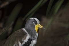 White-headed Wattled Lapwing (z_a_r_a) Tags: bird nature detailed closeup portrait head yellow unique dark back brown white nikon d750 dog dept field