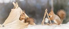 time to eat (Geert Weggen) Tags: geert weggen red nature animal squirrel rodent mammal cute top look closeup stand funny bright sun backlight ice winter snow tree wood branch house fire camp cook teepee tent tipi hardeko ilobsterit sweden jmtland bispgrden ragunda