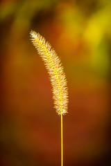 Weed (Pixeleyes) Tags: weed flower bokeh nature