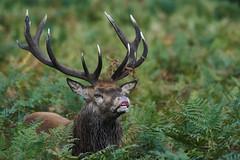 Red Deer Stag In Rut (paulinuk99999 - just no time :() Tags: pauliuk99999 red deer rut october fall autumn 2016 london mammal british bushy park sal70400g