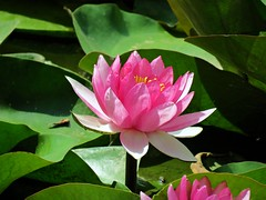 pink lily (oneroadlucky) Tags: nature plant flower lotus waterlily