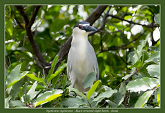 Black-crowned night-heron (Jan H. Boer, Nature photographer) Tags: nycticoraxnycticorax blackcrownednightheron kwak birds herons nightherons nature wildlife costarica isladelpajaro nikond5200 afsnikkor200500f56eedvr jansphotostream2016 wow