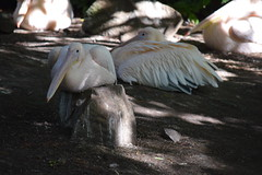 Pelicans (Bebopgirl1969) Tags: edinburghzoo pelican