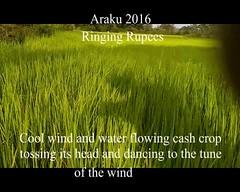 Araku cash crop (prem swaroop) Tags: cashcrop rice wind tune nod cultivation crop flowing water