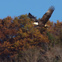Predator & Prey (DewCon) Tags: eagle baldeagle americanbaldeagle