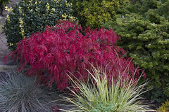 Autumn Acer palmatum var. dissectum 'Rubrum' has changed from green to red (Four Seasons Garden) Tags: four seasons garden uk england autumn october 2016 colours foliage japanese maple acer palmatum var dissectum rubrum red