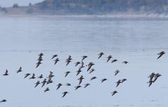 Shorebirds flight formation (Natimages) Tags: shorebird migratorybirds migration shoreline waterbirds water bif birdinflight bluewater blue pentaxk3 da3004