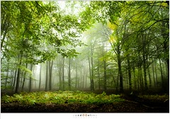 Where the fern grow (nandOOnline) Tags: speuld mist solsegat beukenbomen nikon bos natuur speulderbos morning openplek dancingtrees nevel forest ochtend fog birch beuk herfst bomen nature d500 trres landschap gelderland nederland