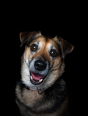Tyler the Jack Russel (Layna.Campbell) Tags: dog animal photography studio studiophotography workexperience black jackrussel nikond200 nikon dslr camera