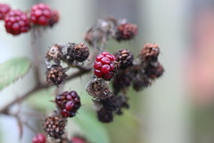 Blackberries, Bevan's Lane Marina, Monmouthshire-Brecon Canal, Pontrhydyrun, Cwmbran 23 October 2016 (Cold War Warrior Follow Me on Ipernity) Tags: rubusfruticosus blackberry pontrhydyrun macro