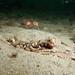 Blue swimmer crab - Portunus pelagicus