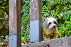 DSC_0254 (TanaPerin) Tags: dog trek rain coat cute lake bled castle green shrubbery yellow puppy pensive