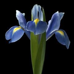 Iris BY (Pixel Fusion) Tags: iris flower macro nature flora nikon d7000