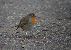 Robin (eMMa_bOOm) Tags: park orange holland colour cute bird nature dutch robin wings colours natural eating tail beak feathers insects seeds coloured frysln littlebird notshy