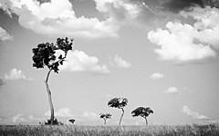 Brazilian Savannah (joaobambu) Tags: blue trees brazil sky painterly tree topf25 yellow topv111 brasil wow landscape interestingness interesting topv333 scenery arboles topv1111 himmel cu cielo vista blogged arvore tao ceu topf15 rvores mmd skuy imagekind
