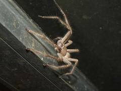 Sparassidae Huntsman spider DSCF6201 (Bill & Mark Bell) Tags: exmouth westernaustralia australia geo:town=exmouth geo:state=westernaustralia geo:country=australia geo:lon=11425453egeolat2217752sgeoalt8m 11425453e2217752salt8m taxonomy:kingdom=animalia animalia taxonomy:phylum=arthropoda arthropoda taxonomy:class=arachnida arachnida taxonomy:order=araneae araneae taxonomy:superfamily=sparassoidea sparassoidea taxonomy:family=sparassidae sparassidae taxonomycommonnamehuntsmanspider huntsmanspider spider