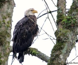 Bald Eagle Stalking, Day 2