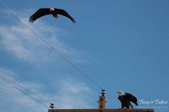 2 of 4 - An aggressor Bald Eagle buzzes another eagle