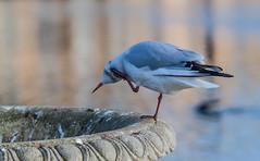 itch (Francis Mansell) Tags: chroicocephalusridibundus blackheadedgull gull seagull scratch scratching bird seabird kewgardens kew royalbotanicgardenskew
