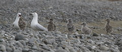 Tarapunga gulls and chicks (black-billed gull - Larus bulleri) (Steve Attwood) Tags: newzealand christchurch bird nature canon stones wildlife canterbury chick riverbed chicks colony waimakariri larusbulleri blackbilledgull braidedriver waimakariririver breedingcolony tarapuka