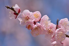 bursting  into bloom (snowshoe hare*) Tags: flowers ume botanicalgarden 梅 plumblossoms japaneseapricot dsc1186 豊後梅 bungoume 海の中道海浜公園