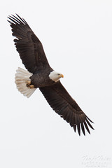 Bald Eagles Perform Flyby in Adams County, Colorado