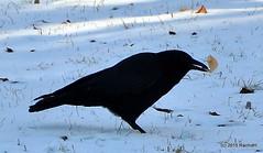 DSC_0295 (rachidH) Tags: snow black nature birds nj corneille neige sparta crow oiseaux corvusbrachyrhynchos americancrow corbeau corvus corvidae corneilledamrique rachidh