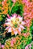 """Sempervivium """"Night Raven"""" (jacscot) Tags: glasgow fujifilm botanicgardens sempervivium nightraven x100s"""