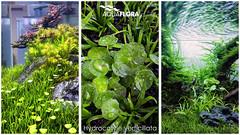 Aquaflora - Hydrocotyle verticillata (Filipe Oliveira (FAAO)) Tags: plant aquarium aquatic freshwater planted verticillata aquascaping hydrocotyle aquaflora