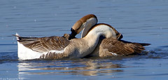It's That Time Of Year For Geese Too Part 1 of 3 (Kaptured by Kala) Tags: nature geese goose breeding mating mounting whiterocklake chinesegoose sunsetbay dallastexas brownchinesegoose chinesegeese courtshipbehavior