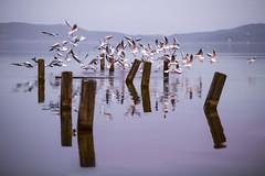 Cluster bomb (Galep Iccar) Tags: lake landscape seagull paesaggi ga