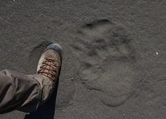 Man vs. bear (Haukurrr) Tags: summer expedition sand polarbear greenland 2014 eastgreenland forbiddencoast