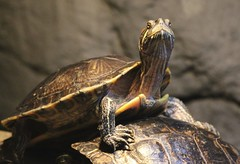 Turtle Sunning (Read2me) Tags: animal turtle reptile x3 x2 challengeyouwinner friendlychallenges thechallengefactory tcfunanimous gamesweep yourock2nd gamex2 superherowinner ultraherowinner storybookotr pregamewinner challengeclubwinner perpetualchallengewinner