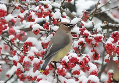 IMG_2859 (justpics2007) Tags: winter snow birds waxwings possumhaw