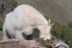 Rocky Mountain Goat (Oreamnos americanus) (Tony Varela Photography) Tags: mountaingoat rockymountaingoat wildgoat oreamnosamericanus washingtonstatewildlife photographertonyvarela olympicnationalparkwildlife tonyvarelaphotography