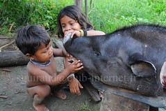 Asurini do Xingu (guiraud_serge) Tags: brazil portrait brasil amazon indian tribe ethnic indien matogrosso indio labret brésil tribu amazonie amazone forêttropicale ethnie kayapo kuikuro metuktire plateaulabial hautxingu parcduxingu sergeguiraud artducorps ornementcorporel
