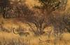 Hunting Dik-dik (Rainbirder) Tags: kenya samburu africanleopard pantherapardus rainbirder