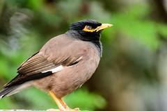The Common Myna / Indian Myna (Salik/Shalik Pakhi) (Nitya..) Tags: india bird nikon nikkor 70300 myna pakhi salik shalik d5200