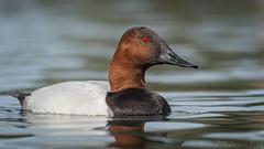 Canvasback (Aythya valisineria) (ER Post) Tags: arizona bird duck unitedstates tucson trips canvasbackaythyavalisineria tucson2015