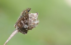 Dingy Skipper (Erynnis tages) (Bob Eade) Tags: nikon wildlife butterflies sigma roosting dingyskipper seaford d300 erynnistages
