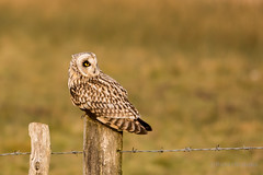 short-eared owl (asio flammeus) (PeterBrooksPhotography) Tags: uk winter wild sun bird fence sussex morninglight eyes post wildlife raptor owl stare perched marsh eastsussex asioflammeus shortearedasioflammeus